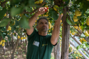 Prodotti Coop: il limone Costa d'Amalfi Fiorfiore Coop