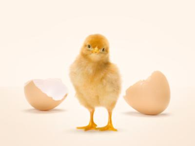 Salviamo il pulcino maschio: le uova Coop sono cruelty-free